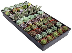 "2"" Succulent Assortment (Pack 50)"